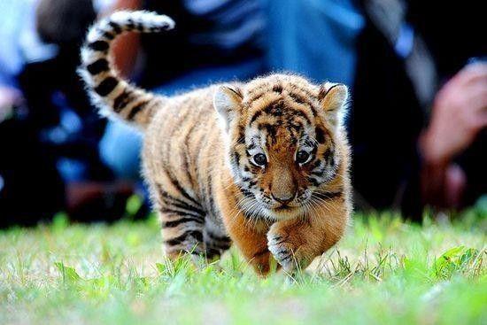B b tigre - Bebe tigre mignon ...