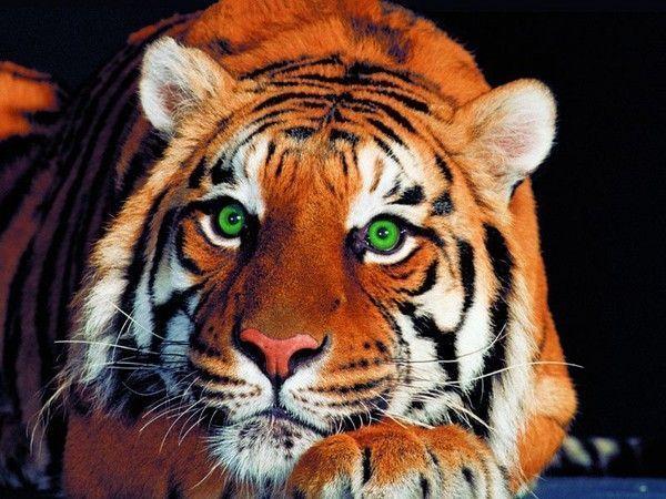 Tete de tigre - Image tete de tigre ...